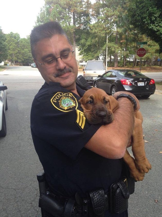 Bloodhound puppy being held by police officer