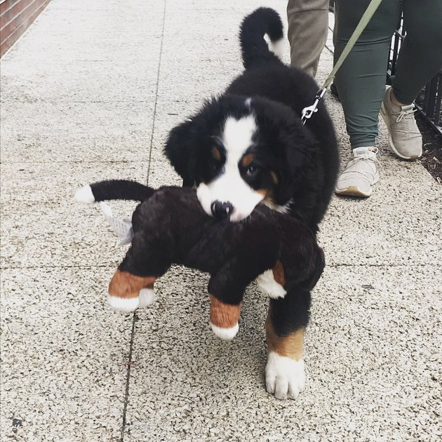 Bernese puppy named Sprout carrying a toy Bernese dog in his mouth