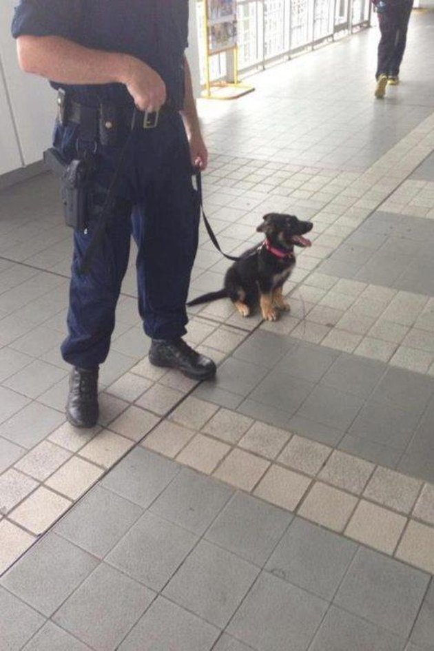 Puppy on a leash held by a police officer