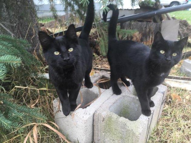 black cats named Velcro Tripwire & Oates Side-Saddle McBride standing on concrete blocks outdoors