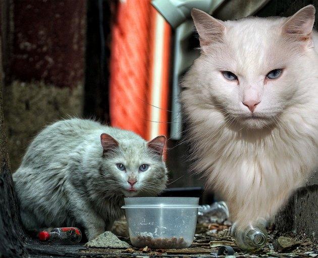 white rescue cat named Mr. Hobo Highwaters