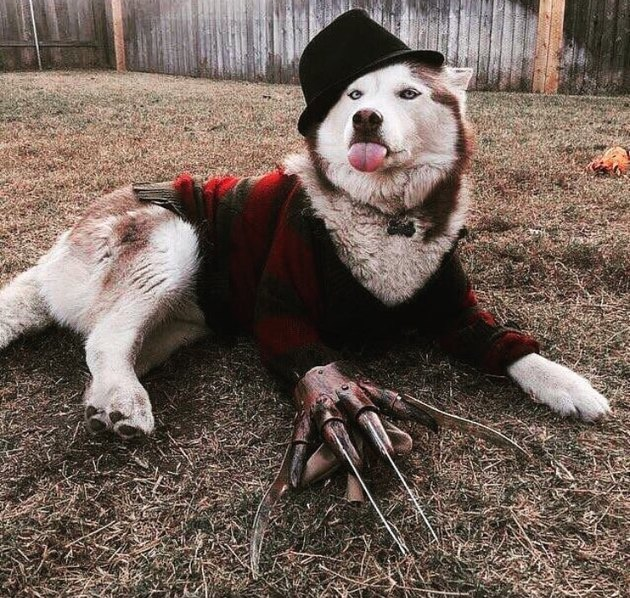 Nice dog dressed up like Freddy Krueger