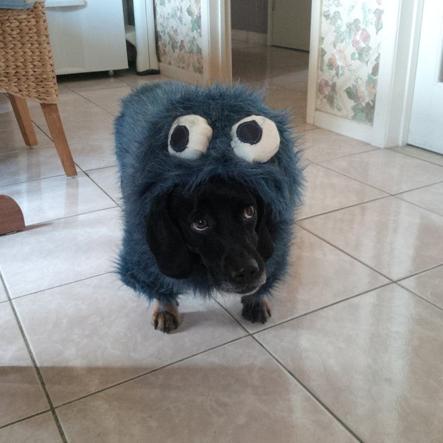 Dog dressed up as Cookie Monster