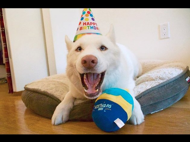 a husky with a toy and birthday hat