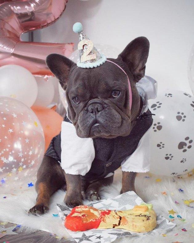 french bulldog looking annoyed with its birthday bone treat