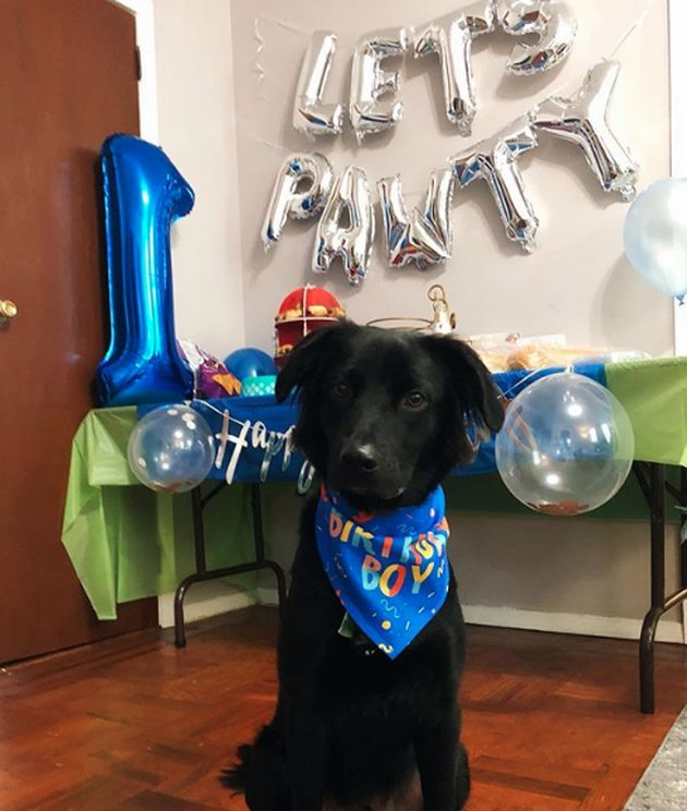 a dog celebrating its first birthday with balloons