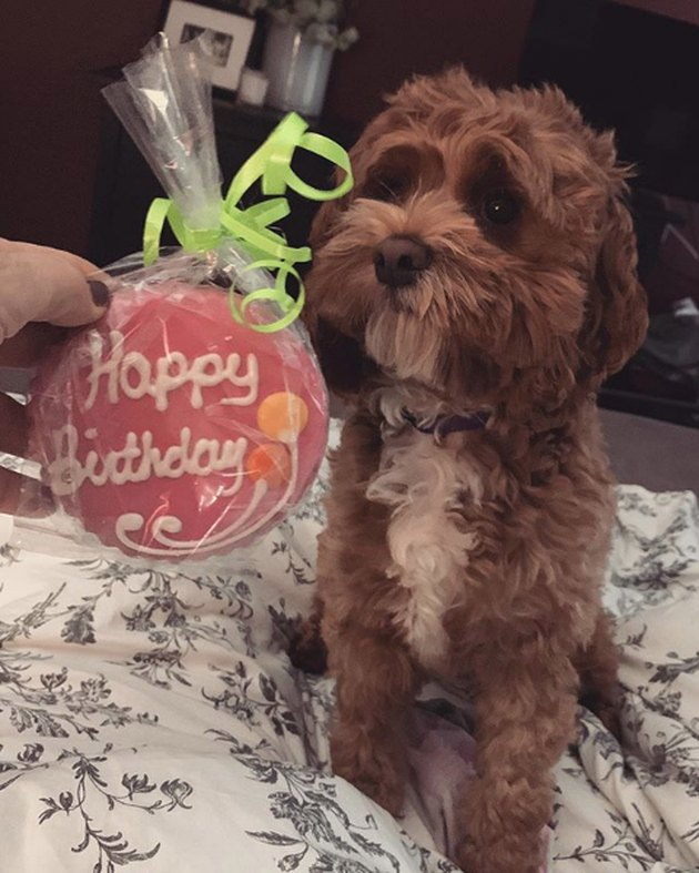 a cockapoo with a birthday cookie treat