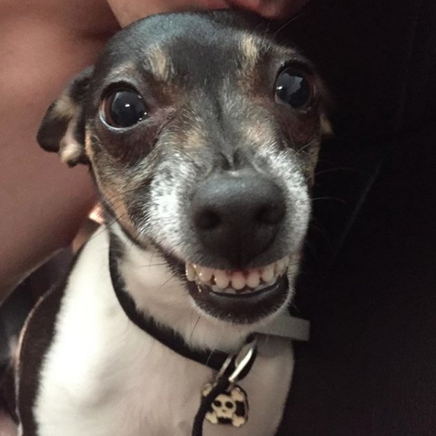 dog showing all of its front teeth