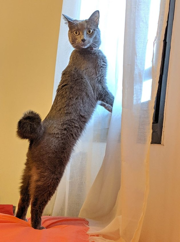 cat named Mademoiselle de Pompompadour