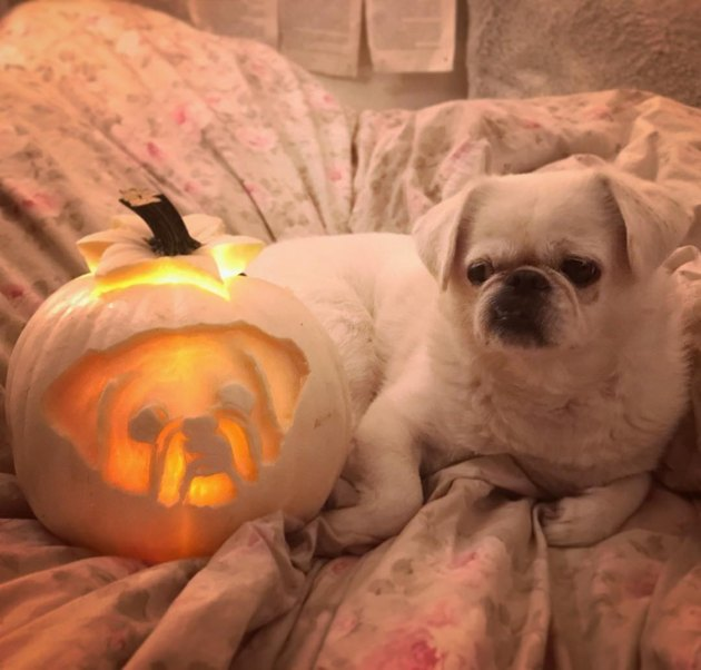 Dog posing with its jack'o'lantern counterpart.