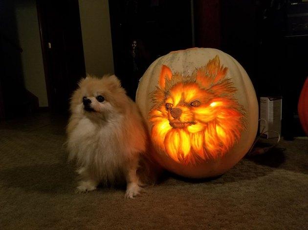 Pomeranian posing next to a jack'o'lantern with a Pomeranian face carved into it..
