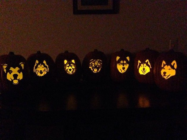 Seven jack'o'lantern with a Husky faces carved into them.