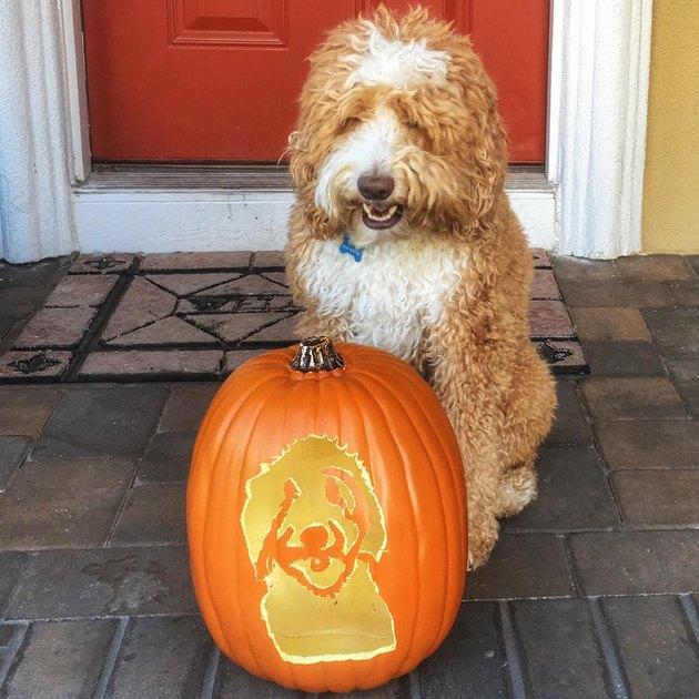 Labradoodle posing with a jack'o'lantern dog pumpkin.