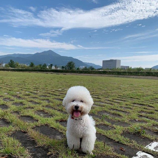 a bichon frise in a field