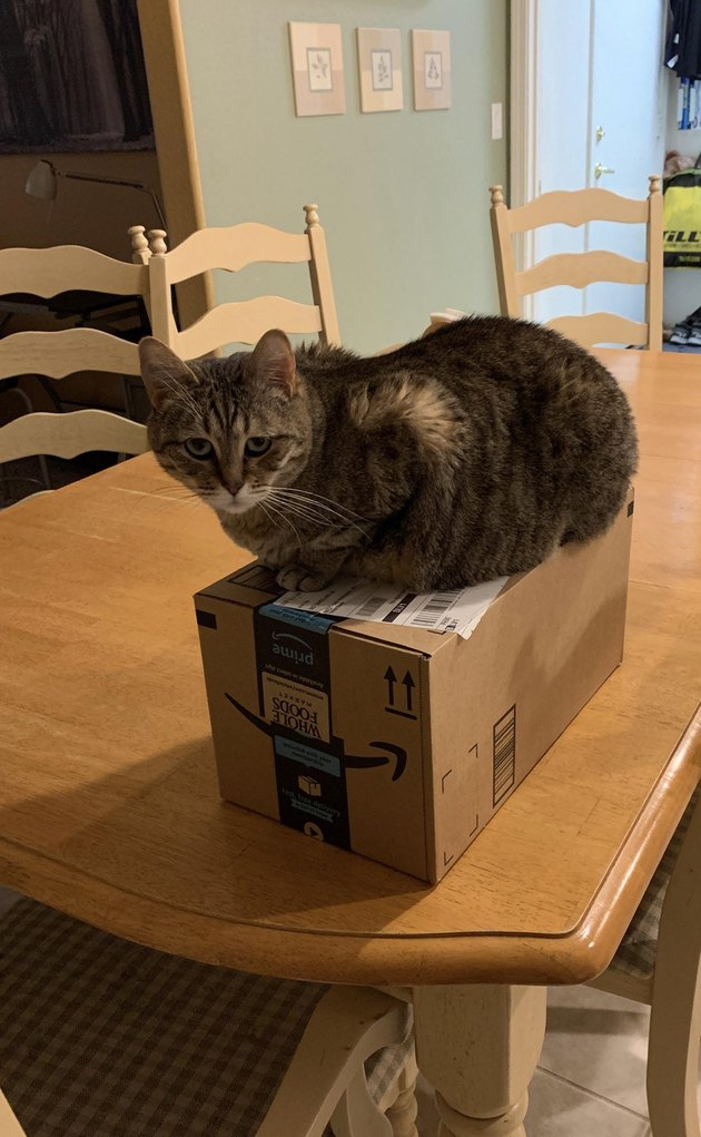 cat gets around no table rule by sitting on box atop table