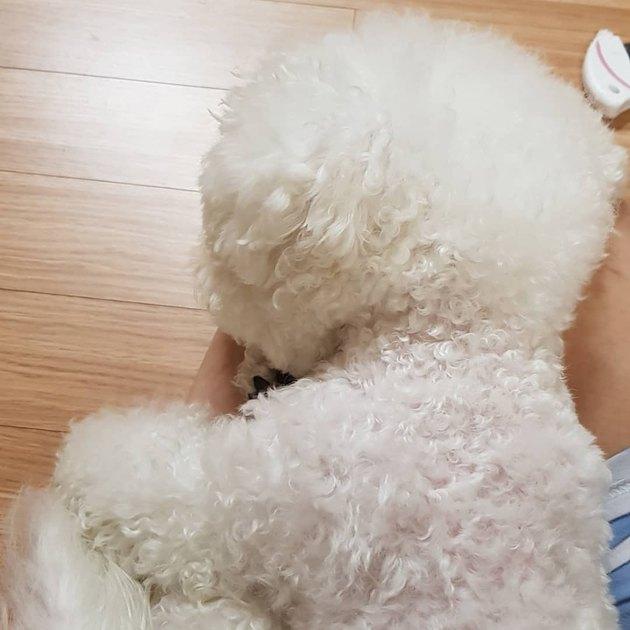 resting bichon frise dog