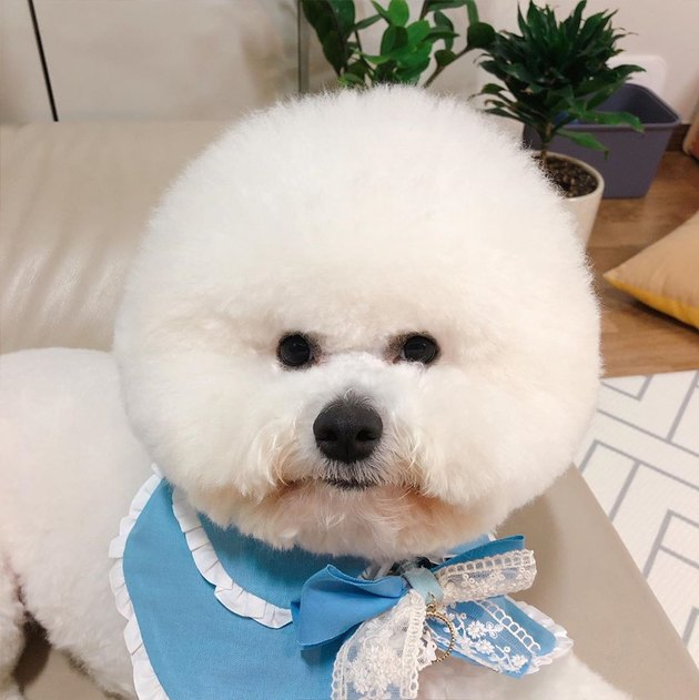bichon frise with a bow