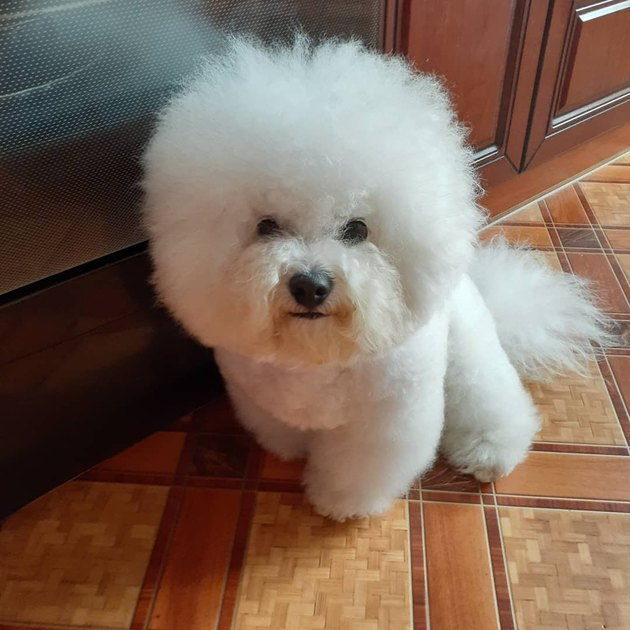 bichon frise with frizzy hair