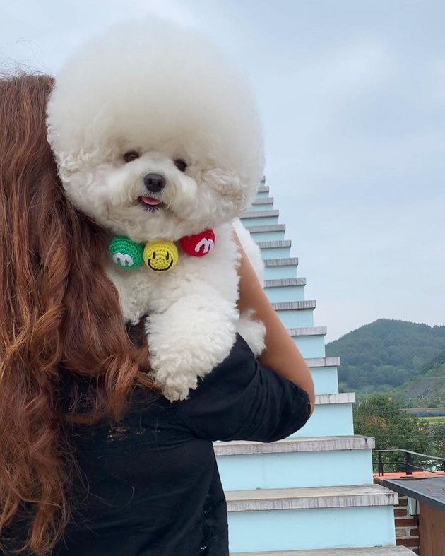 bichon frise being held