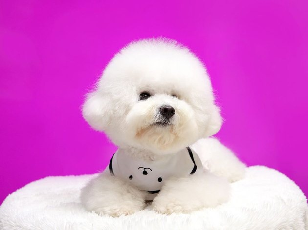 bichon frise on a doggy bed