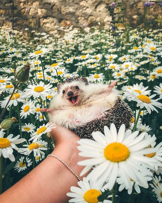 Happy-looking hedgehog in a field of daisies.