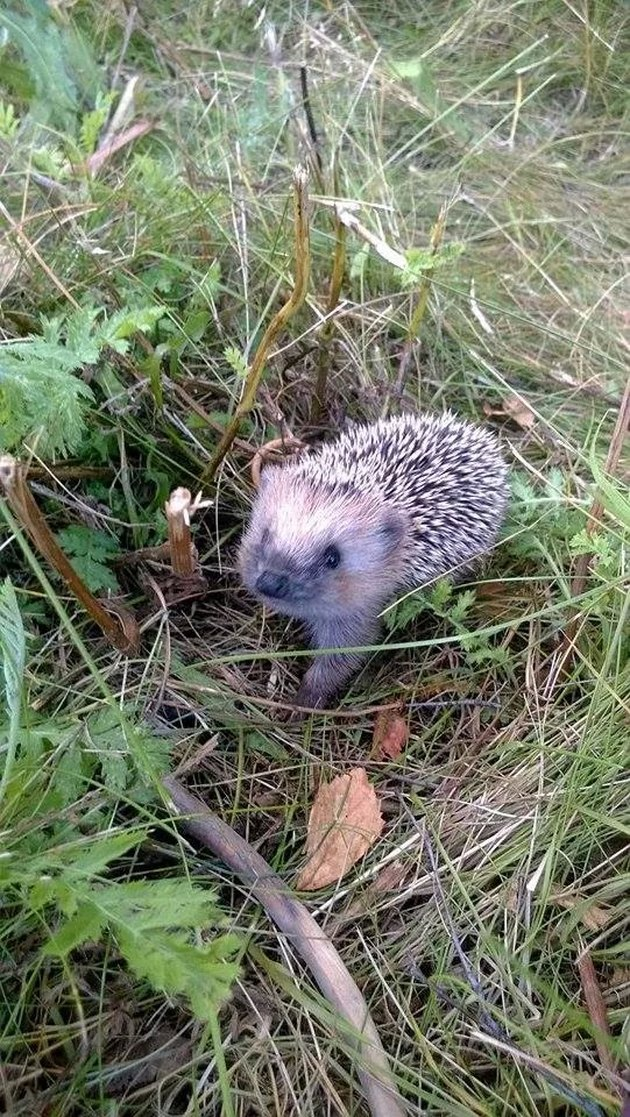 Baby hedgehog in a field.