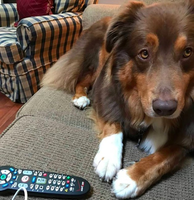dog with remote control on couch
