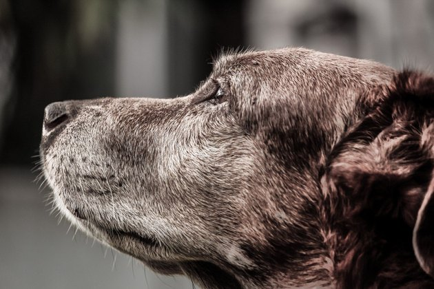 senior brown dog side portrait