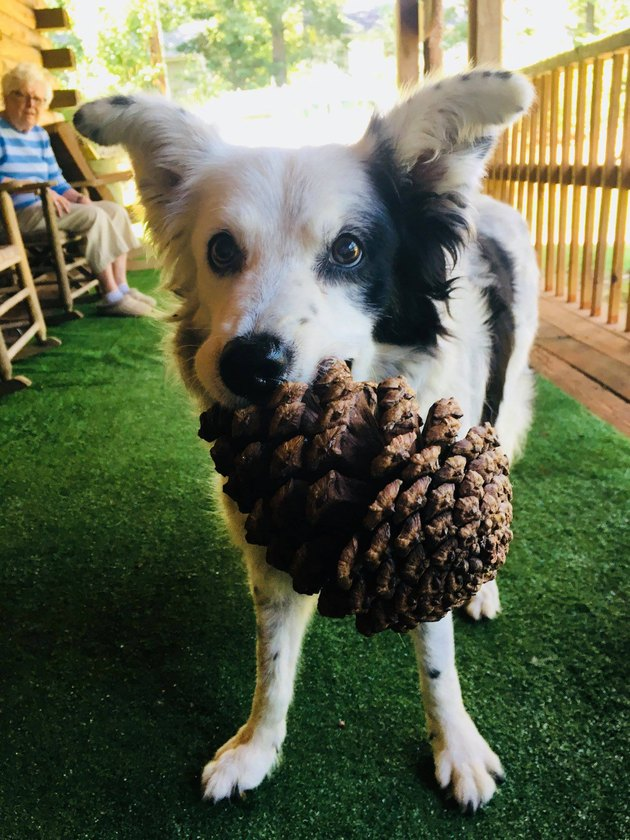 Chaser the Border Collie with a pine cone in her mouth
