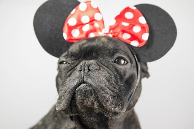 French Bulldog in Minnie Mouse ears