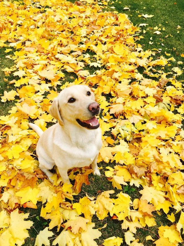 Yellow Labrador sitting on yellow leaves.