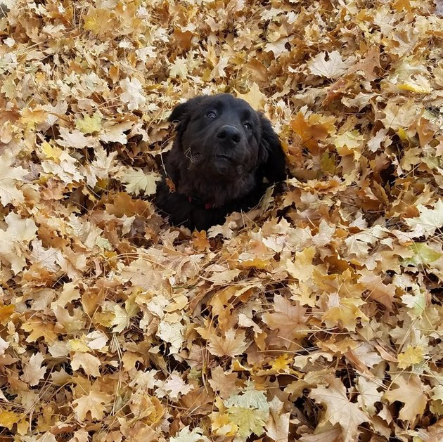 Dog sinking into pile of leaves.