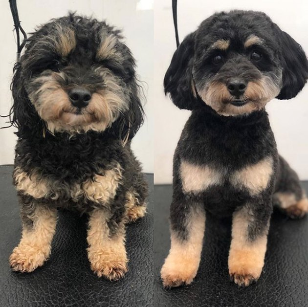 groomed jackapoo dog