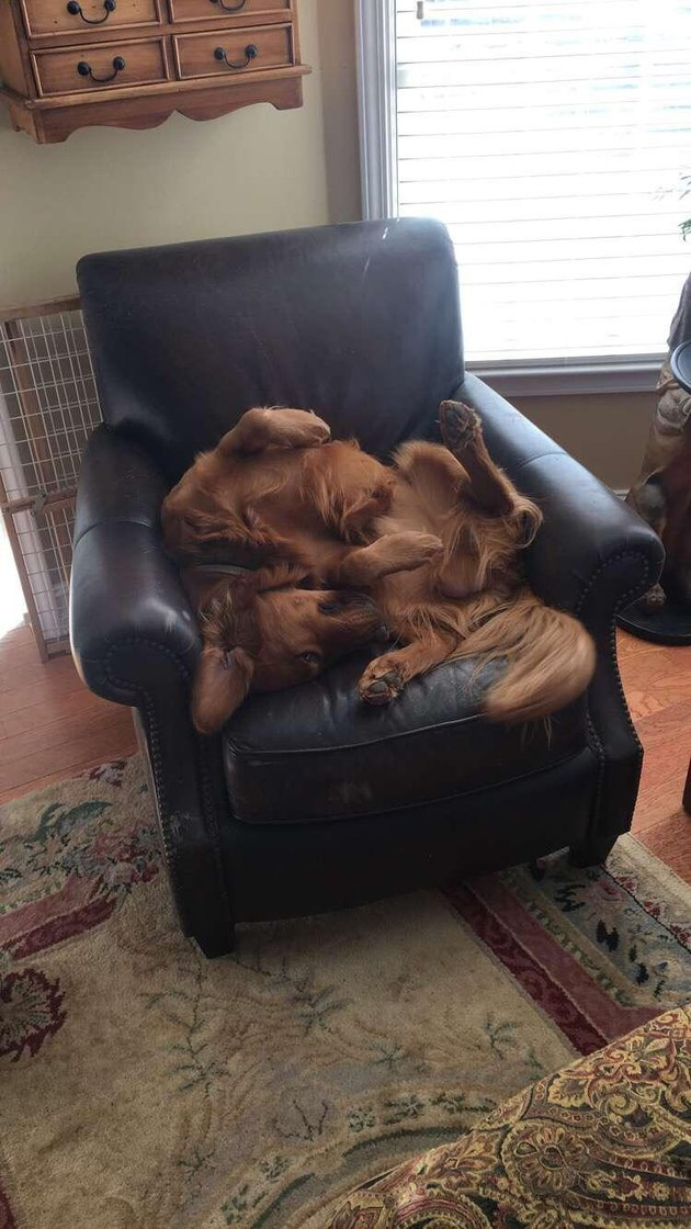 Dog curled in a strange position on a leather recliner