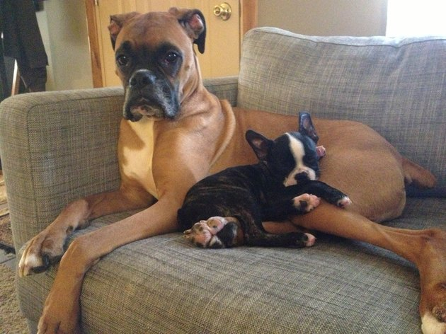 Boston terrier puppy lying on adult boxer