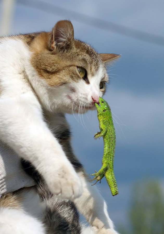 Cat with lizard hanging onto its nose.