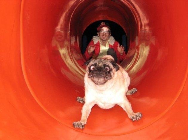 Pug going down slide.