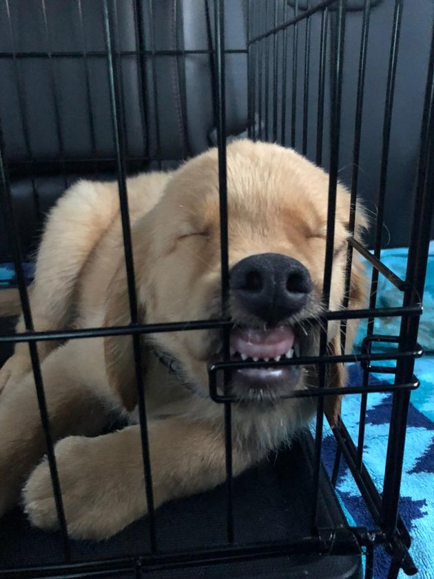 Puppy sleeping in a kennel with its lips pulled back, exposing its teeth