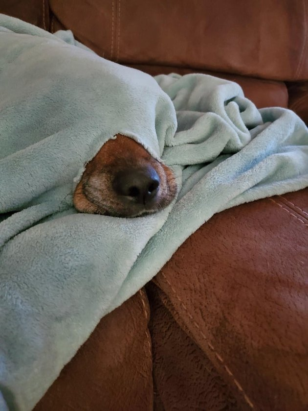 Dog under a blanket with its nose poking out of a hole