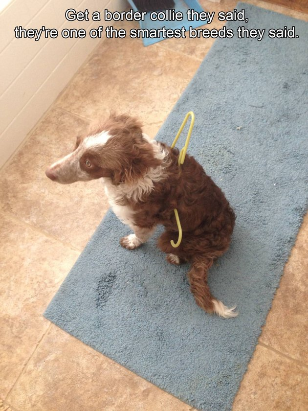 Border Collie stuck in a clothes hanger.