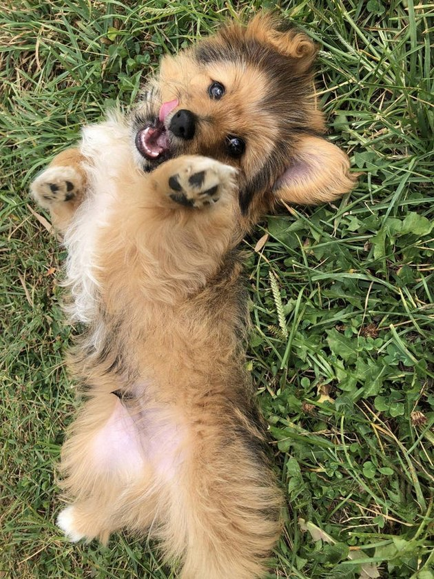 Puppy on its back in the grass