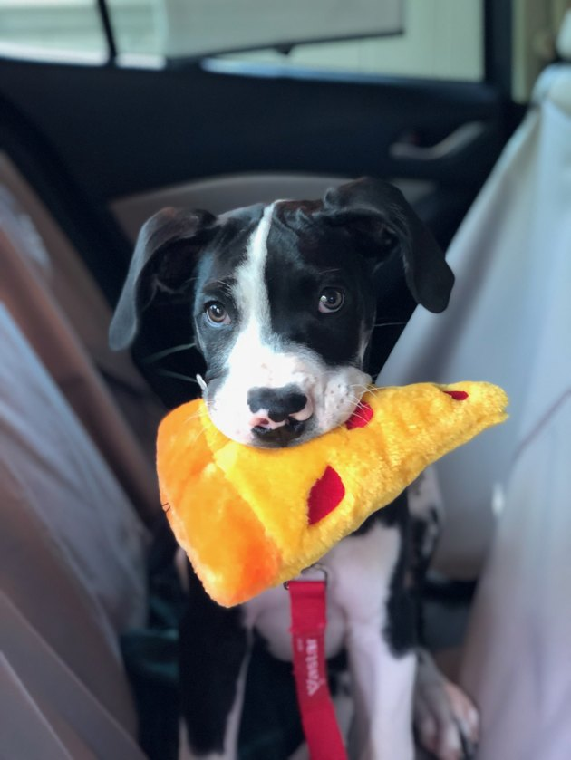 Puppy holding a chew toy shaped like a piece of pizza.