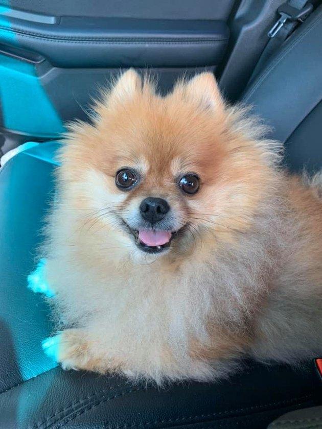 pomeranian dog named Theodorable