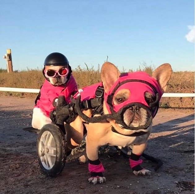 frenchie dog in wheels and pink mask