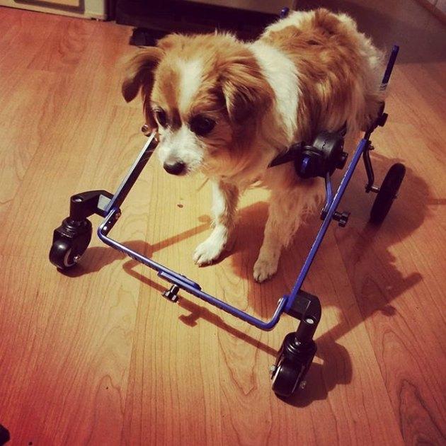 pup in four-wheel wheelchair