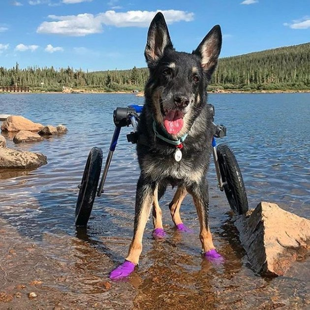 dog in wheels in the water
