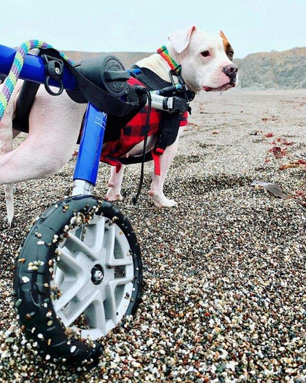 dog in wheelchair on rocky beach