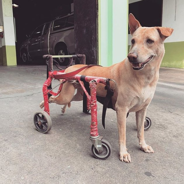 dog in pink wheelchair