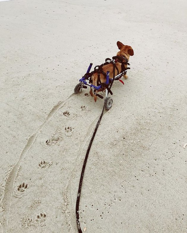 dog in wheels on the beach with paw prints on sand