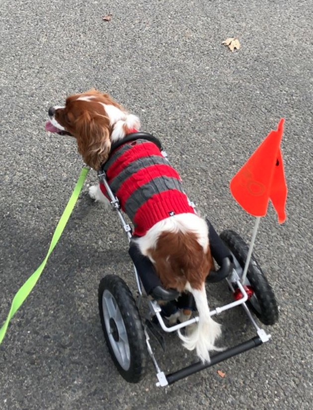 spaniel in striped sweater and wheelchair